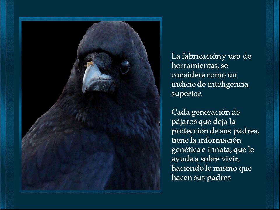 El Cuervo de Nueva Guinea, también es muy inteligente. Son capaces de construir herramientas en forma de gancho, para introducirlas en pequeñas grieta