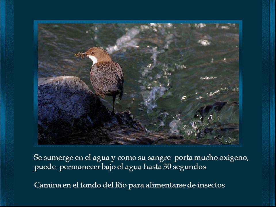 El Mirlo acuático, habitualmente viven en las orillas de ríos rápidos de montaña. Su preferencia por las aguas no contaminadas lo ha convertido en un