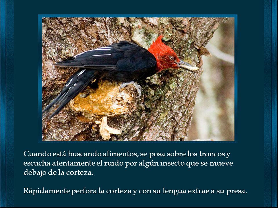 El Pájaro carpintero es una maravilla mas de la naturaleza. Poseen la capacidad de picotear el tronco de un árbol, 20 veces por minuto y al día en tot