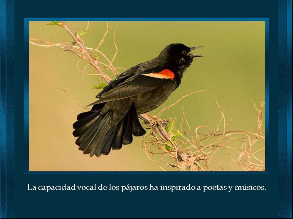Probablemente sea fácil pensar que los pájaros cantan por placer, sin embargo; su canto es para comunicarse, para alertarse y para imponerse a enemigo