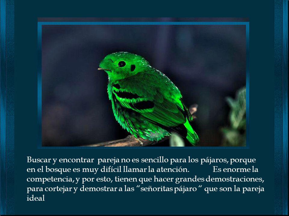 El mejor momento para escuchar el canto de los pájaros, es el amanecer ¿ Porqué cantan a esa hora ? 1 No tienen nada qué hacer y la intensidad de la l