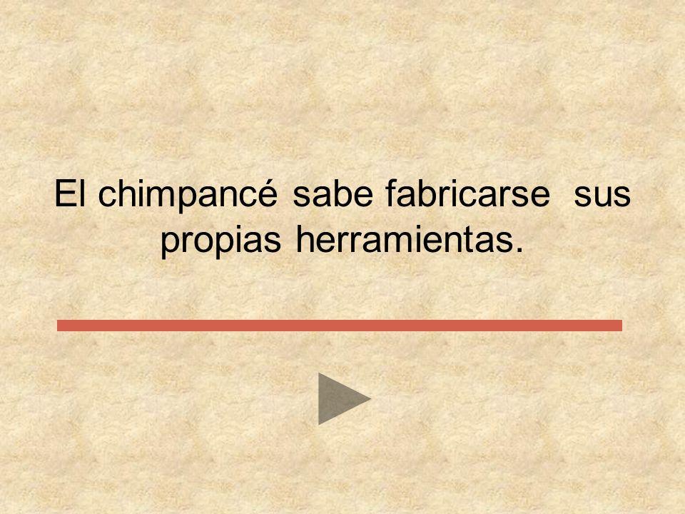 El chimpancé sabe …………….. sus propias herramientas. comerse comprarse fabricarse romperse