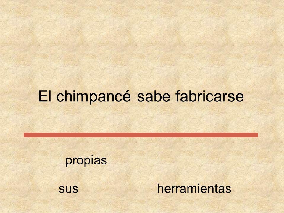 El chimpancé sabe propiasfabricarse susherramientas