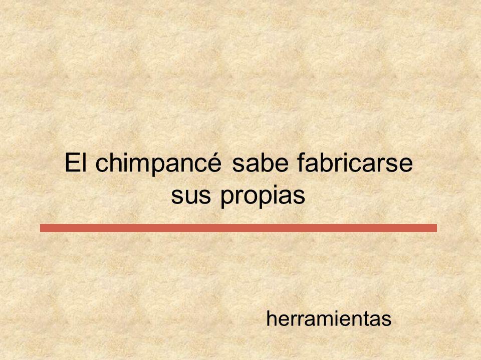 El chimpancé sabe fabricarse sus propias herramientas
