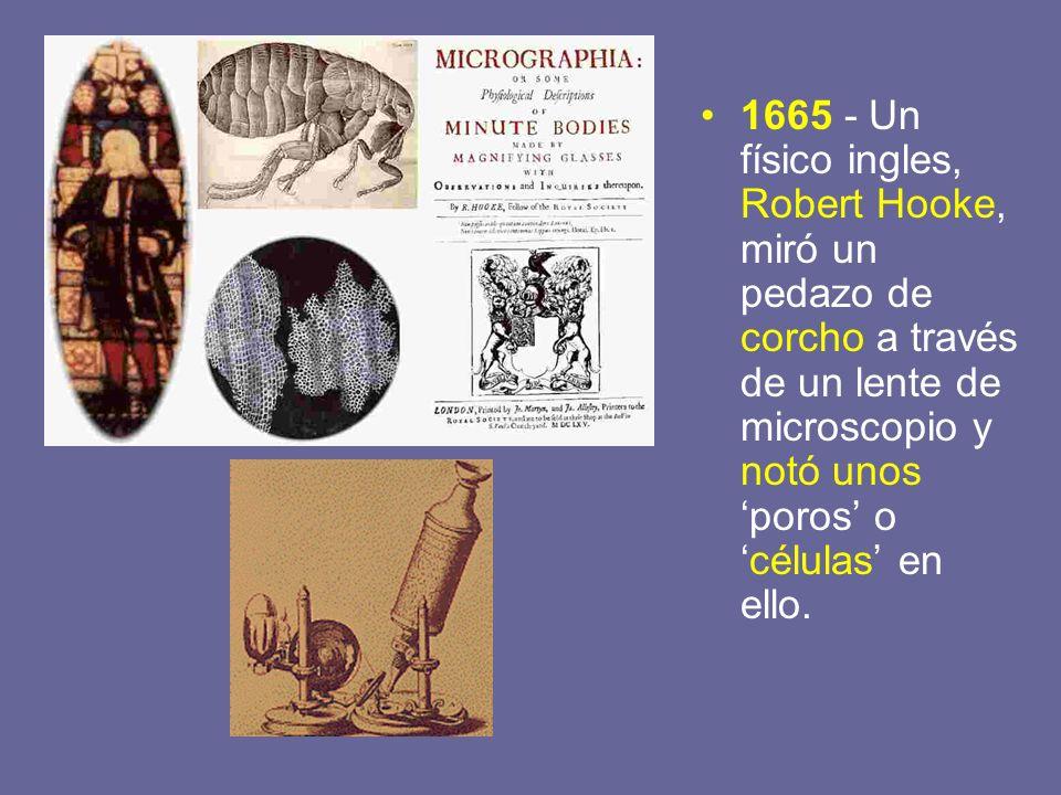 1665 - Un físico ingles, Robert Hooke, miró un pedazo de corcho a través de un lente de microscopio y notó unos poros océlulas en ello.