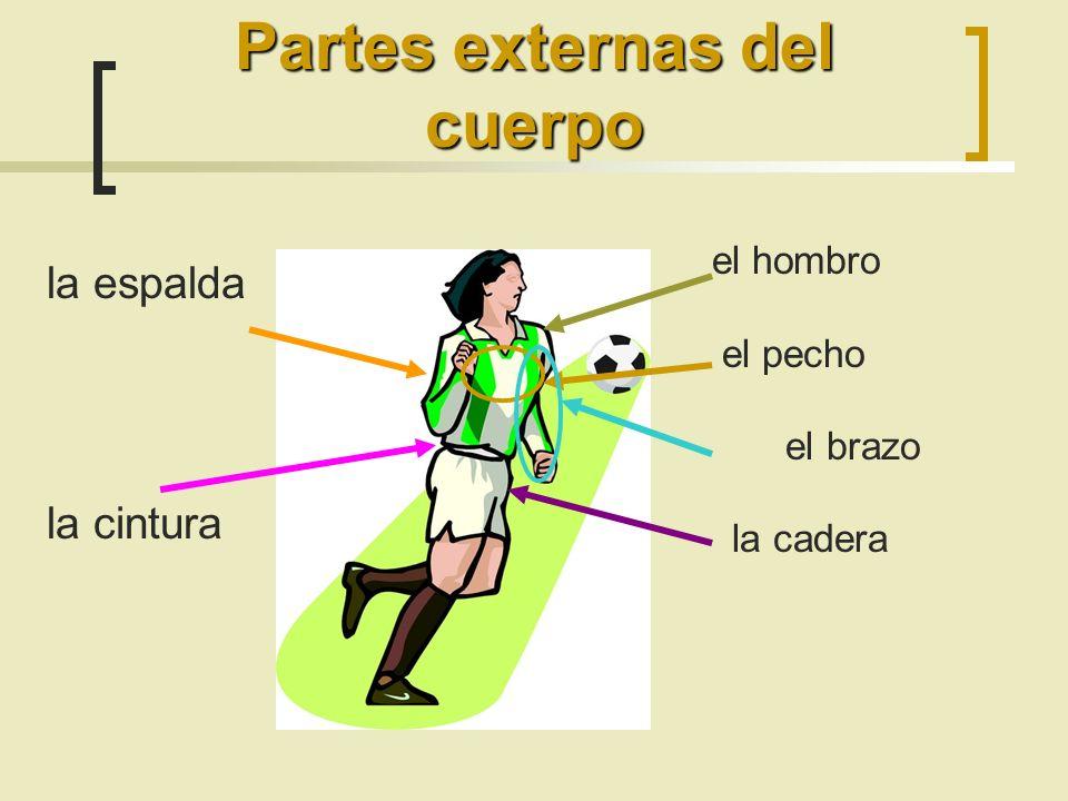 el hombro el pecho el brazo la cadera Partes externas del cuerpo la espalda la cintura