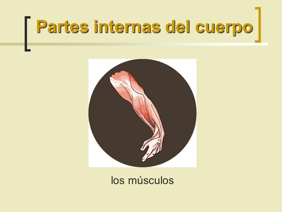 los músculos Partes internas del cuerpo