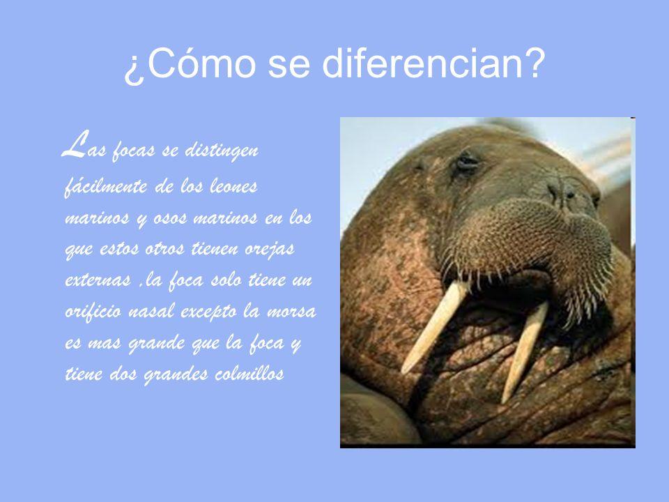 ¿ de quien son parientes los elefantes marinos.L os elefantes marinos son parientes de las focas.