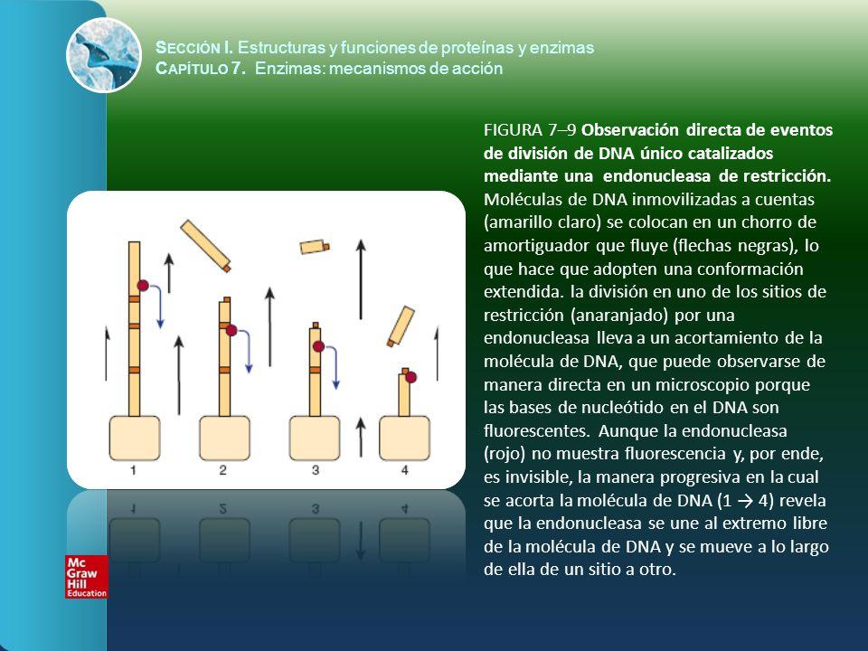 FIGURA 7–9 Observación directa de eventos de división de DNA único catalizados mediante una endonucleasa de restricción. Moléculas de DNA inmovilizada