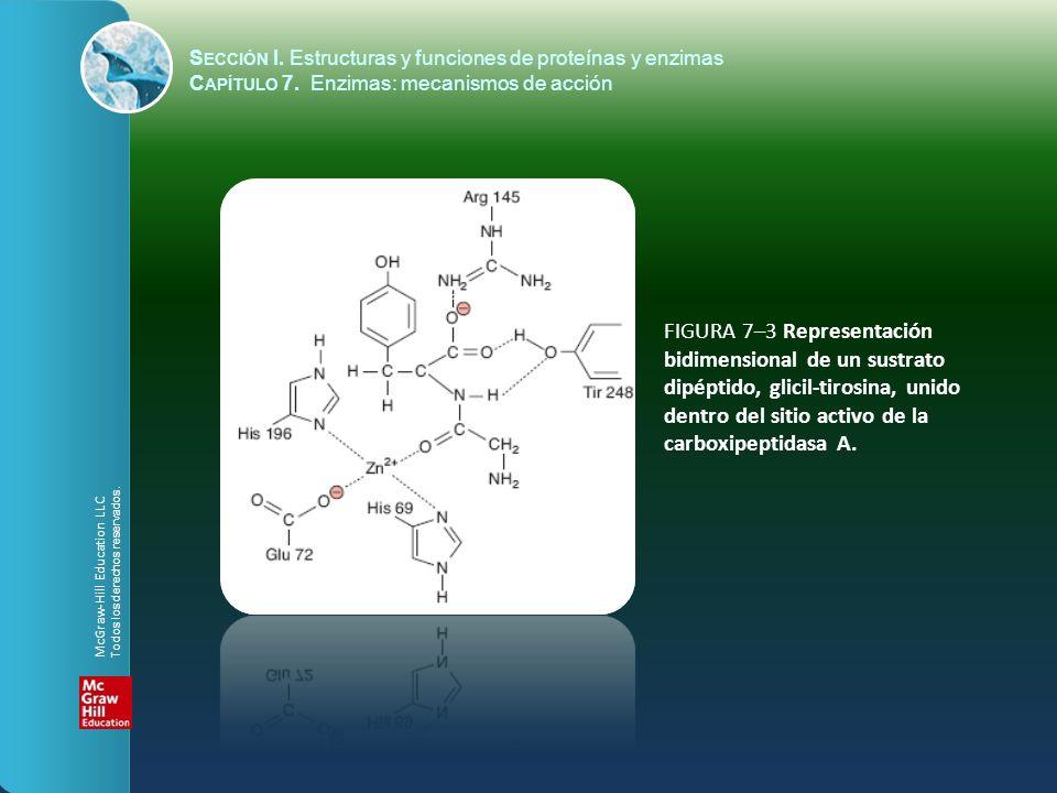 FIGURA 7–3 Representación bidimensional de un sustrato dipéptido, glicil-tirosina, unido dentro del sitio activo de la carboxipeptidasa A. S ECCIÓN I.