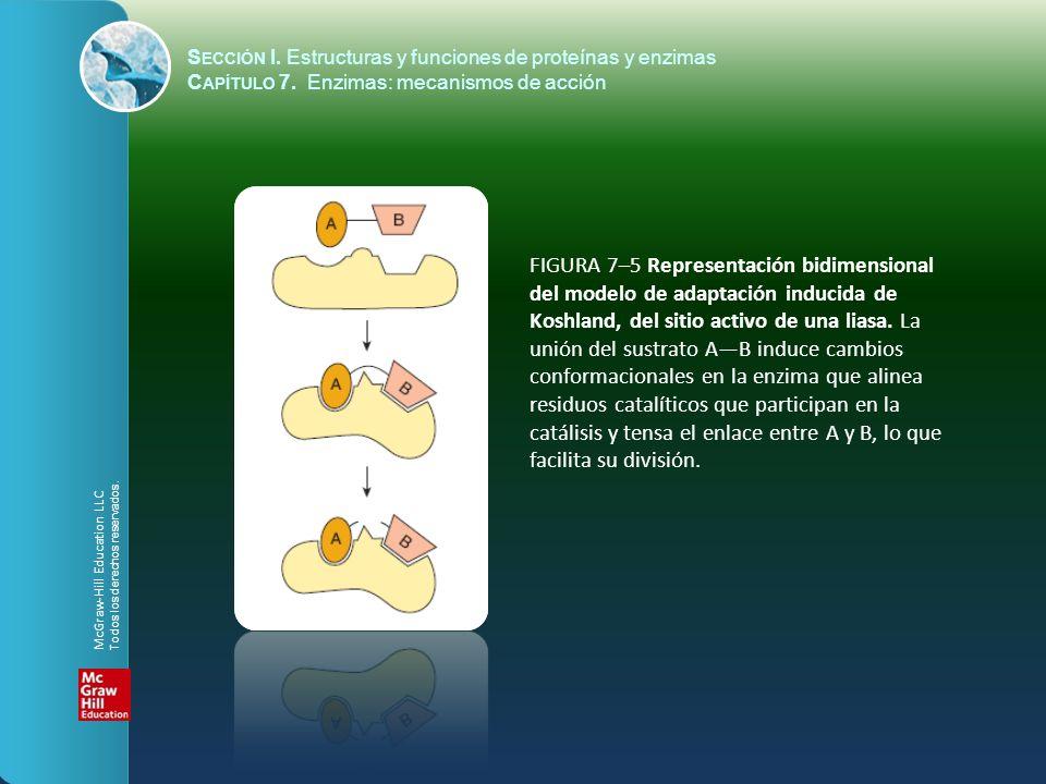 FIGURA 7–5 Representación bidimensional del modelo de adaptación inducida de Koshland, del sitio activo de una liasa. La unión del sustrato AB induce