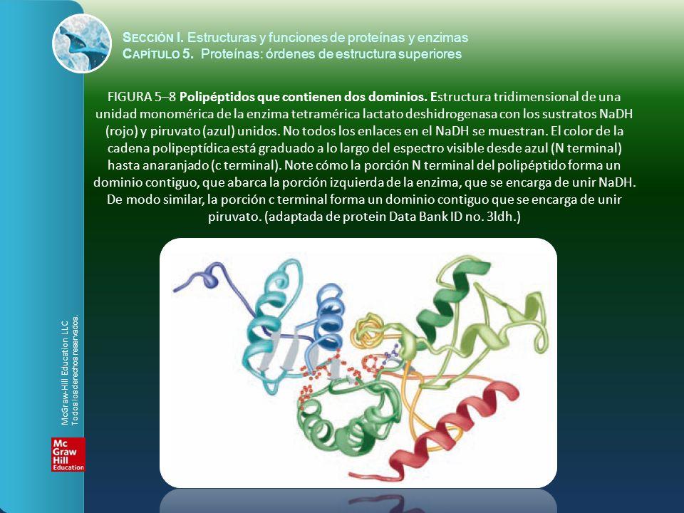 FIGURA 5–8 Polipéptidos que contienen dos dominios. Estructura tridimensional de una unidad monomérica de la enzima tetramérica lactato deshidrogenasa