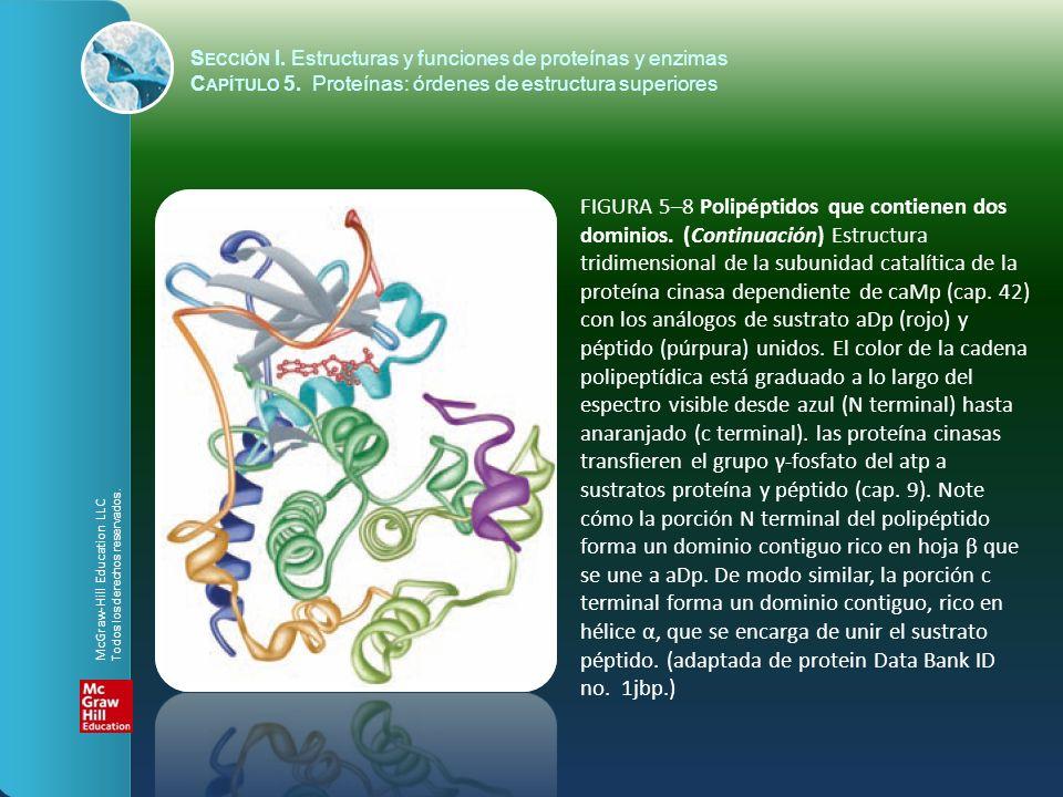 FIGURA 5–8 Polipéptidos que contienen dos dominios. (Continuación) Estructura tridimensional de la subunidad catalítica de la proteína cinasa dependie