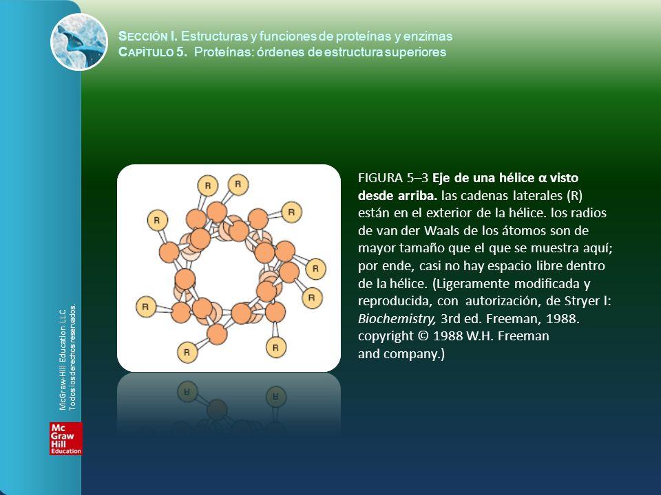 FIGURA 5–4 Los enlaces de hidrógeno (líneas punteadas) formados entre átomos de H y O estabilizan un polipéptido en una conformación helicoidal α.