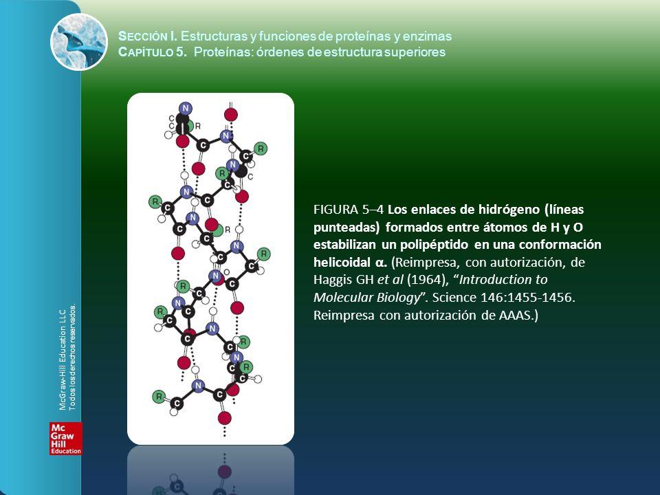 FIGURA 5–4 Los enlaces de hidrógeno (líneas punteadas) formados entre átomos de H y O estabilizan un polipéptido en una conformación helicoidal α. (Re