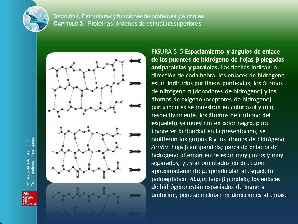 FIGURA 5–5 Espaciamiento y ángulos de enlace de los puentes de hidrógeno de hojas β plegadas antiparalelas y paralelas. Las flechas indican la direcci