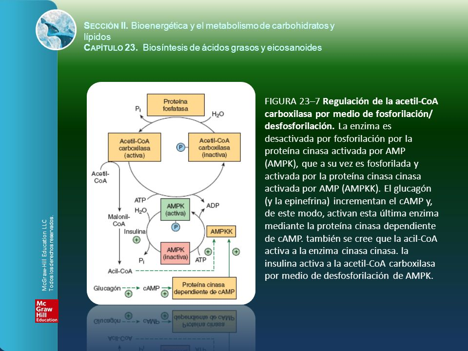 FIGURA 23–7 Regulación de la acetil-CoA carboxilasa por medio de fosforilación/ desfosforilación. La enzima es desactivada por fosforilación por la pr