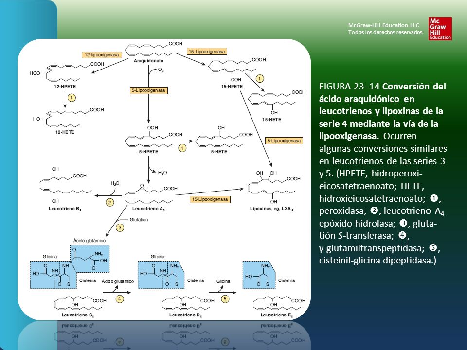 FIGURA 23–14 Conversión del ácido araquidónico en leucotrienos y lipoxinas de la serie 4 mediante la vía de la lipooxigenasa. Ocurren algunas conversi