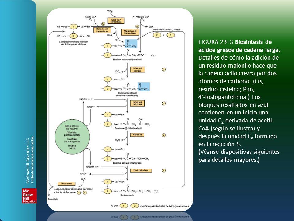 FIGURA 23–3 Biosíntesis de ácidos grasos de cadena larga. Detalles de cómo la adición de un residuo malonilo hace que la cadena acilo crezca por dos á