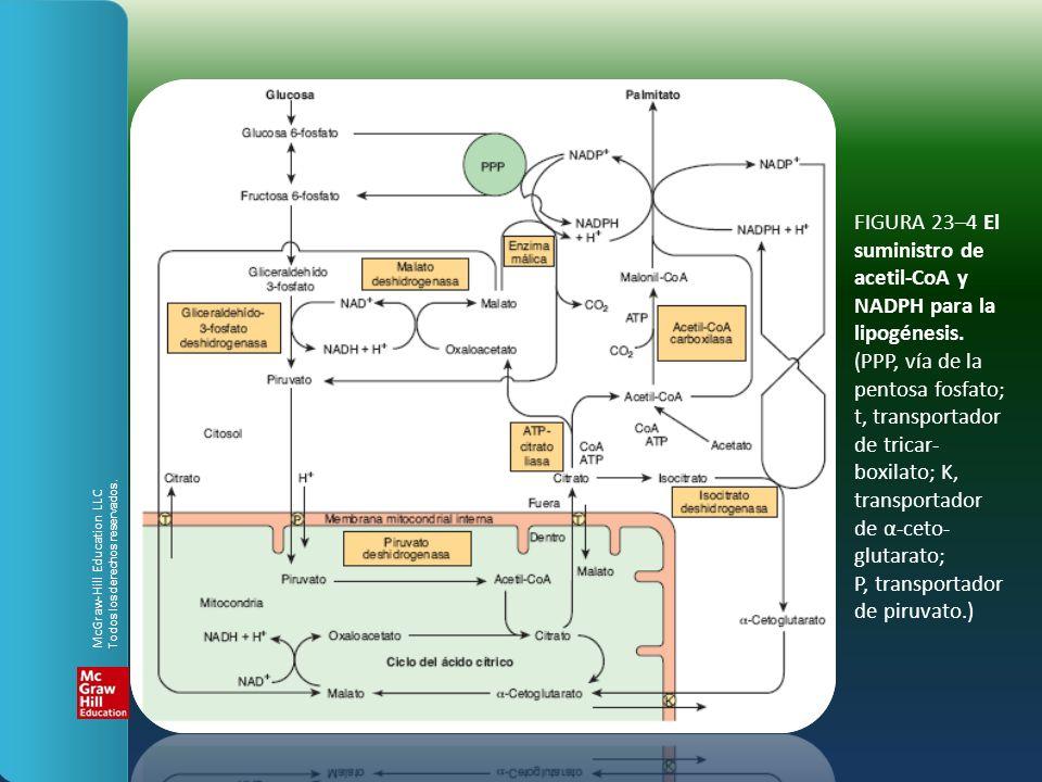 FIGURA 23–4 El suministro de acetil-CoA y NADPH para la lipogénesis. (PPP, vía de la pentosa fosfato; t, transportador de tricar- boxilato; K, transpo
