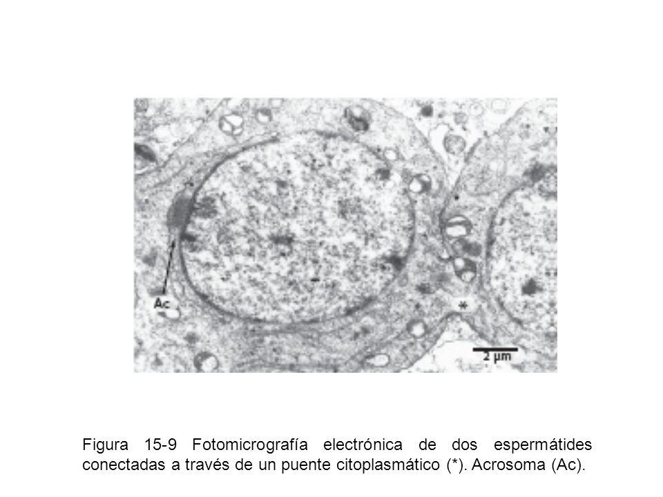 Figura 15-9 Fotomicrografía electrónica de dos espermátides conectadas a través de un puente citoplasmático (*). Acrosoma (Ac).