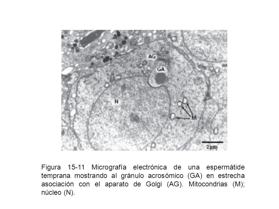 Figura 15-11 Micrografía electrónica de una espermátide temprana mostrando al gránulo acrosómico (GA) en estrecha asociación con el aparato de Golgi (