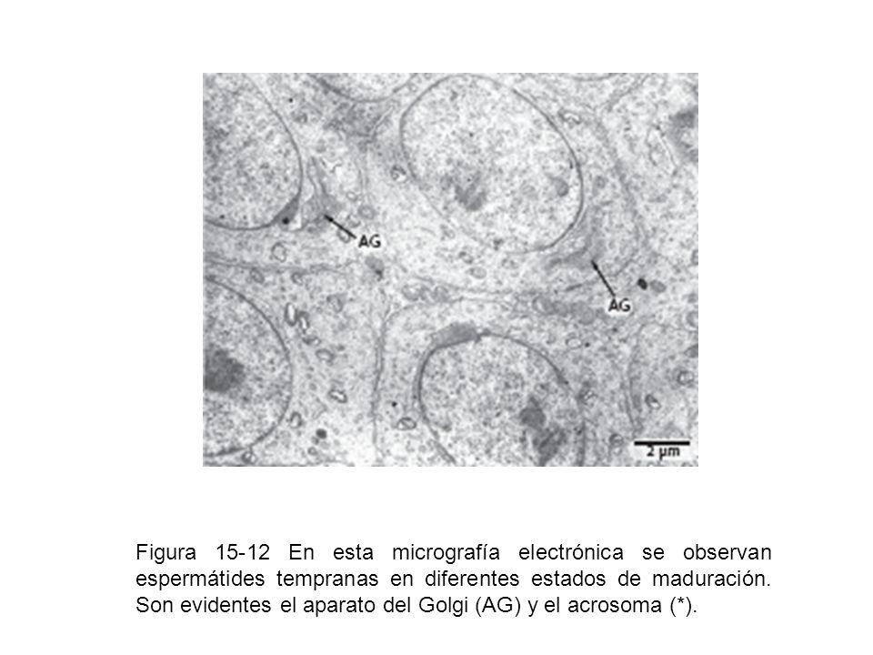 Figura 15-12 En esta micrografía electrónica se observan espermátides tempranas en diferentes estados de maduración. Son evidentes el aparato del Golg