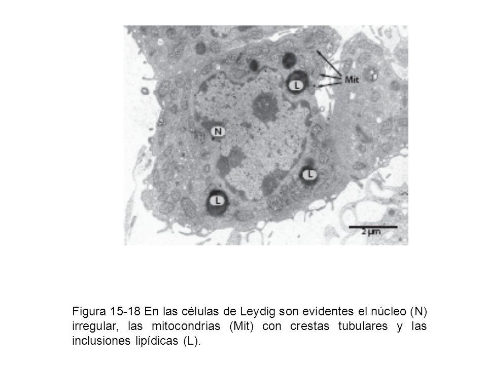 Figura 15-18 En las células de Leydig son evidentes el núcleo (N) irregular, las mitocondrias (Mit) con crestas tubulares y las inclusiones lipídicas
