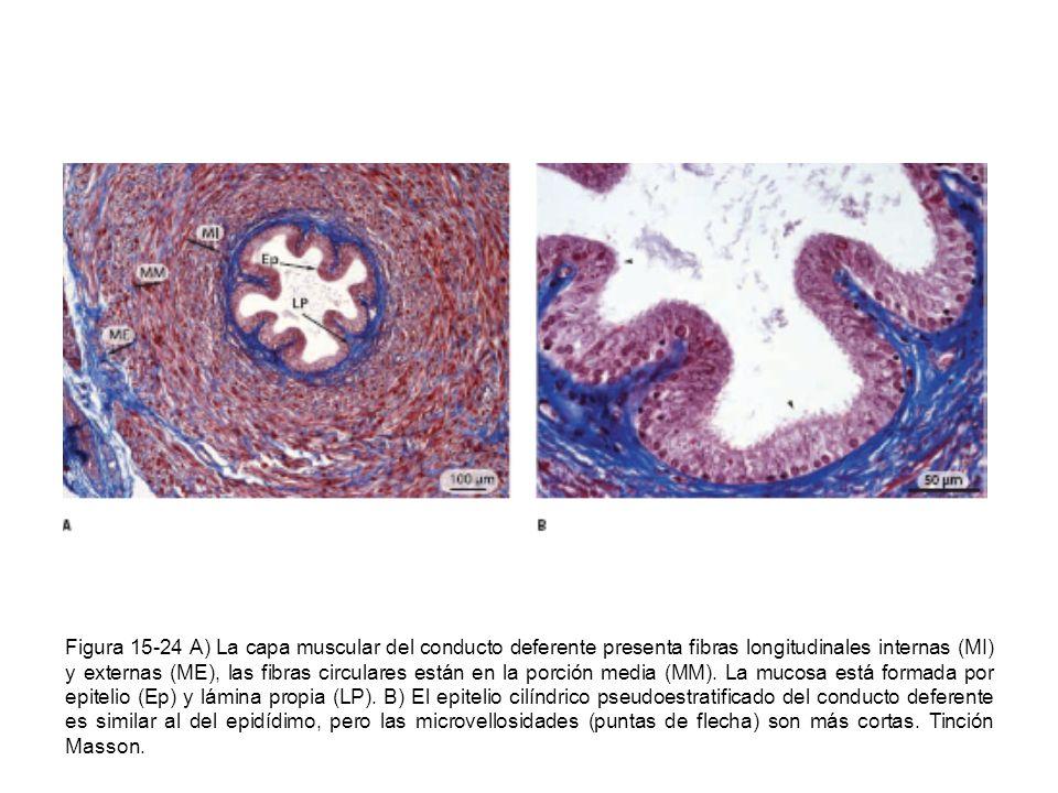 Figura 15-24 A) La capa muscular del conducto deferente presenta fibras longitudinales internas (MI) y externas (ME), las fibras circulares están en l