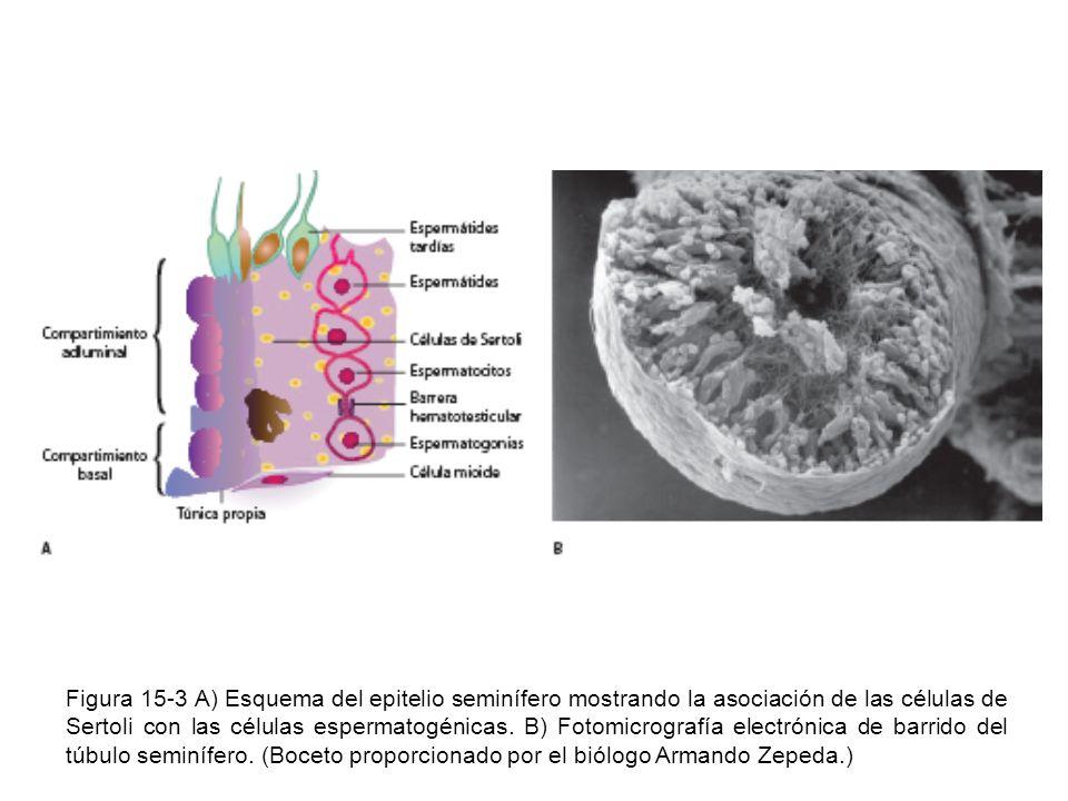 Figura 15-3 A) Esquema del epitelio seminífero mostrando la asociación de las células de Sertoli con las células espermatogénicas. B) Fotomicrografía