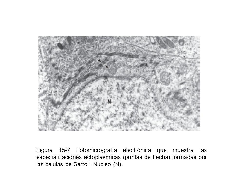 Figura 15-7 Fotomicrografía electrónica que muestra las especializaciones ectoplásmicas (puntas de flecha) formadas por las células de Sertoli. Núcleo