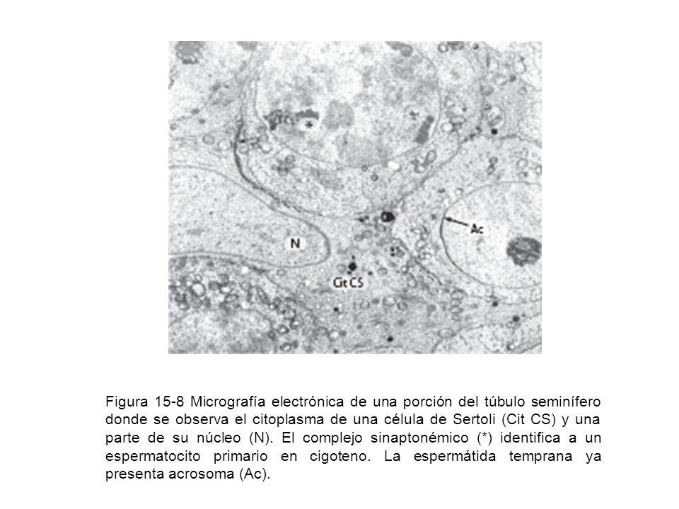 Figura 15-8 Micrografía electrónica de una porción del túbulo seminífero donde se observa el citoplasma de una célula de Sertoli (Cit CS) y una parte