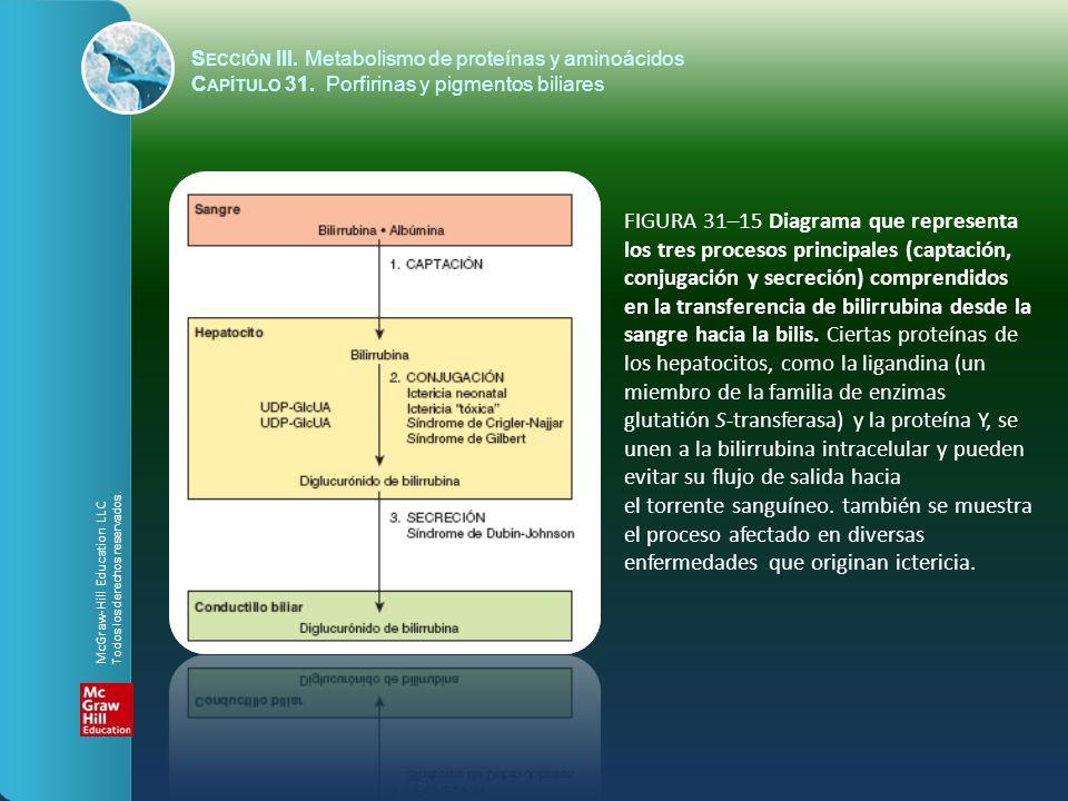 FIGURA 31–15 Diagrama que representa los tres procesos principales (captación, conjugación y secreción) comprendidos en la transferencia de bilirrubin