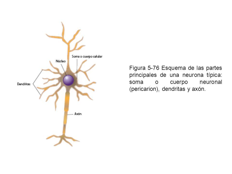 Figura 5-77 Diversos tipos de neuronas de acuerdo con la forma del pericarion.