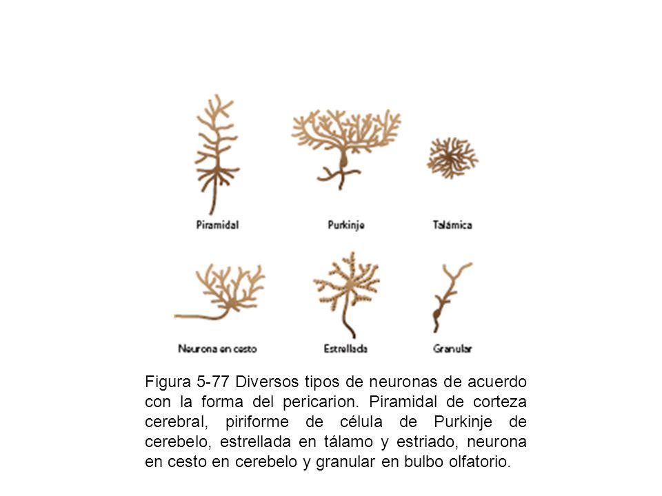 Figura 5-88 Formación de las vainas de mielina en el sistema nervioso periférico, donde se observa la formación de las incisuras de Schmidt-Lanterman.