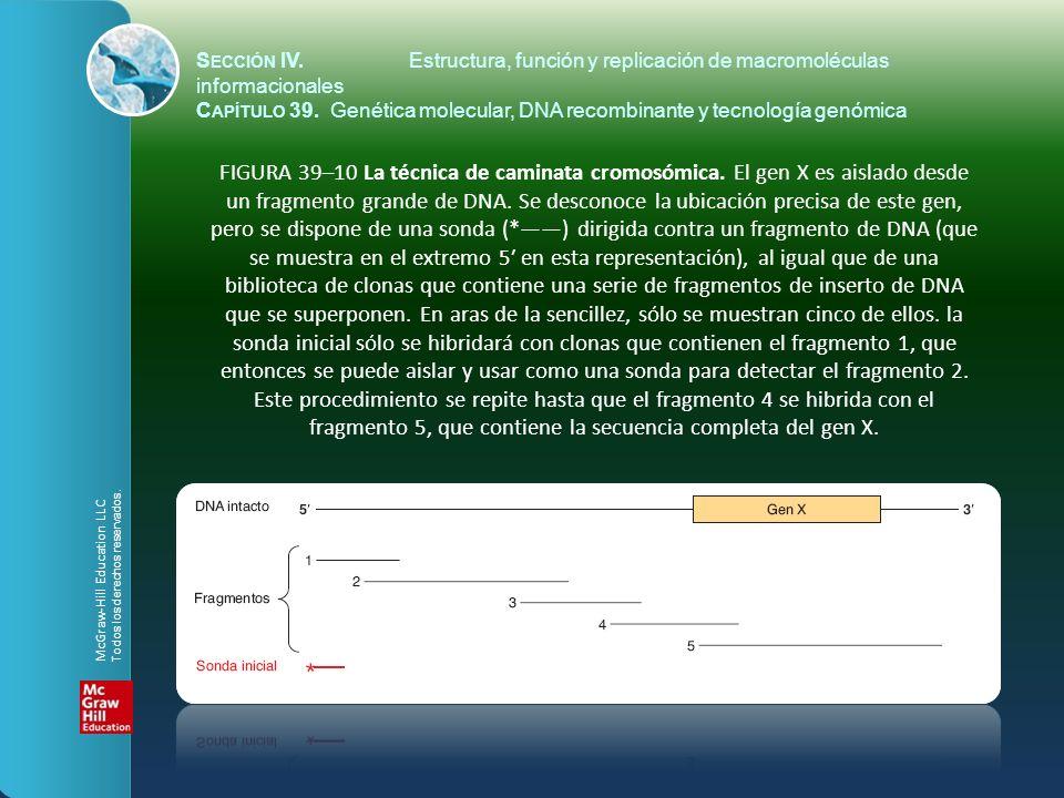 FIGURA 39–10 La técnica de caminata cromosómica. El gen X es aislado desde un fragmento grande de DNA. Se desconoce la ubicación precisa de este gen,