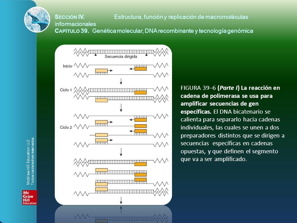 FIGURA 39–6 (Parte I) La reacción en cadena de polimerasa se usa para amplificar secuencias de gen específicas. El DNA bicatenario se calienta para se
