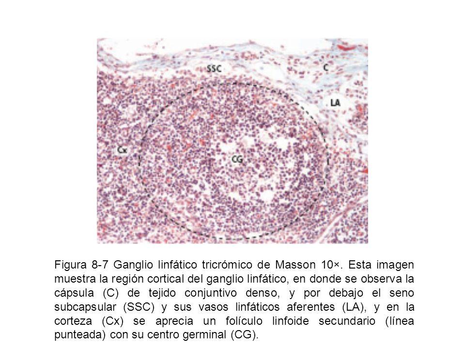 Figura 8-7 Ganglio linfático tricrómico de Masson 10×. Esta imagen muestra la región cortical del ganglio linfático, en donde se observa la cápsula (C