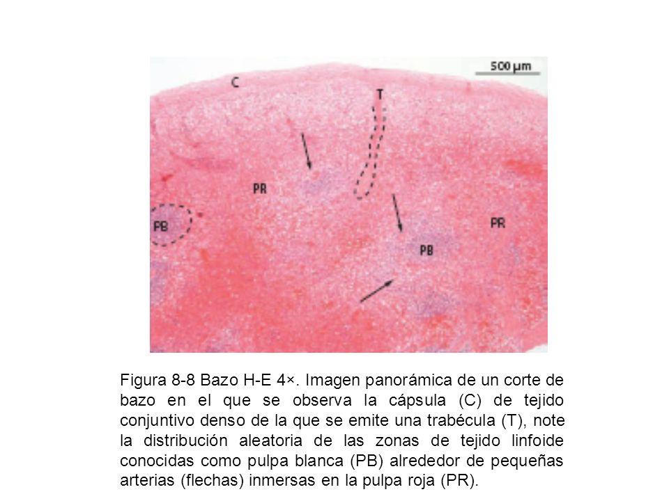 Figura 8-8 Bazo H-E 4×. Imagen panorámica de un corte de bazo en el que se observa la cápsula (C) de tejido conjuntivo denso de la que se emite una tr