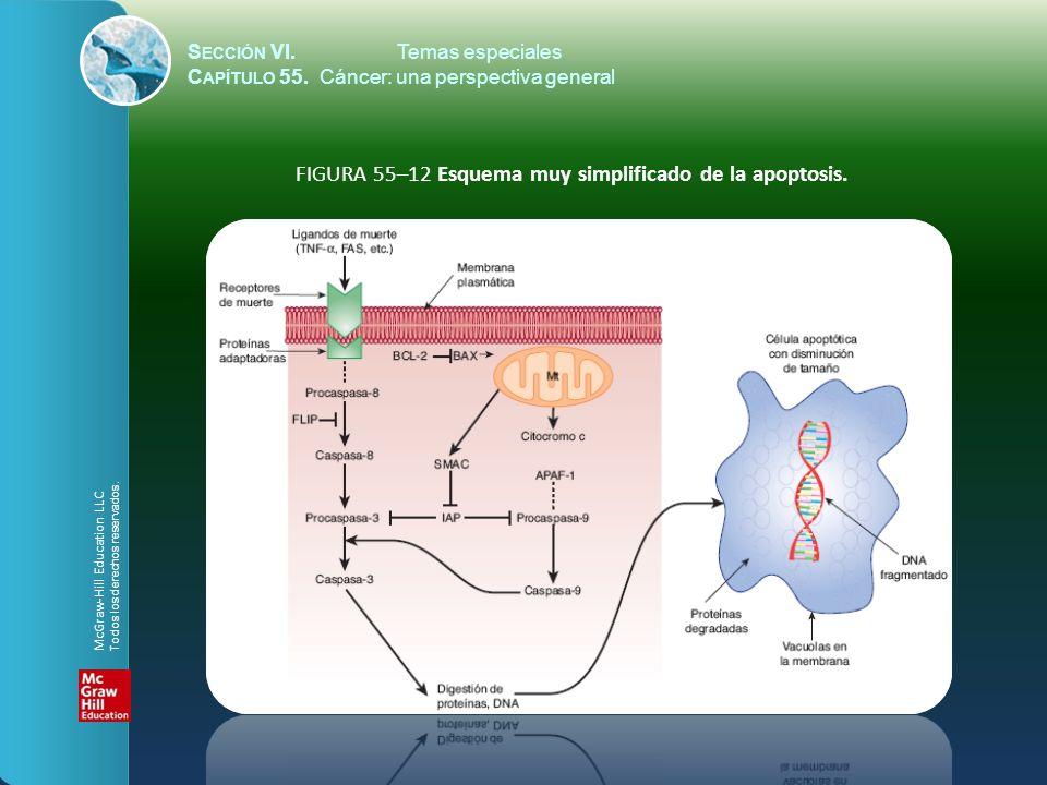 S ECCIÓN VI.Temas especiales C APÍTULO 55. Cáncer: una perspectiva general FIGURA 55–12 Esquema muy simplificado de la apoptosis. McGraw-Hill Educatio