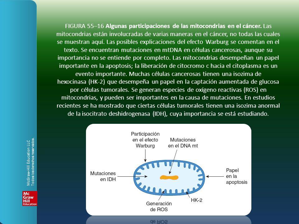 FIGURA 55–16 Algunas participaciones de las mitocondrias en el cáncer. Las mitocondrias están involucradas de varias maneras en el cáncer, no todas la