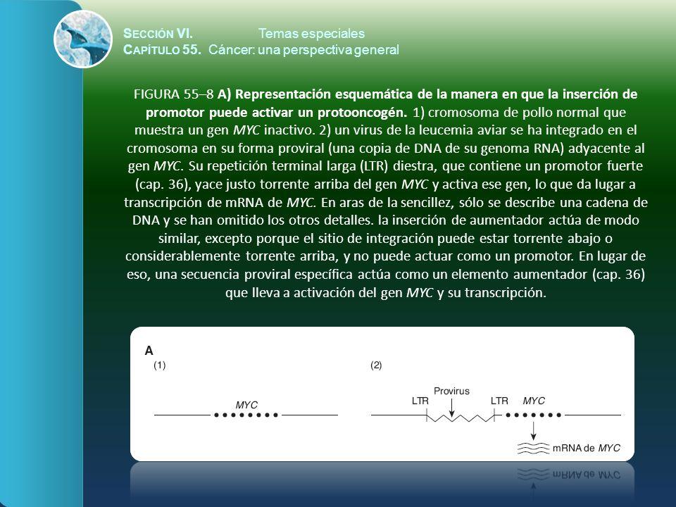 S ECCIÓN VI.Temas especiales C APÍTULO 55. Cáncer: una perspectiva general FIGURA 55–8 A) Representación esquemática de la manera en que la inserción
