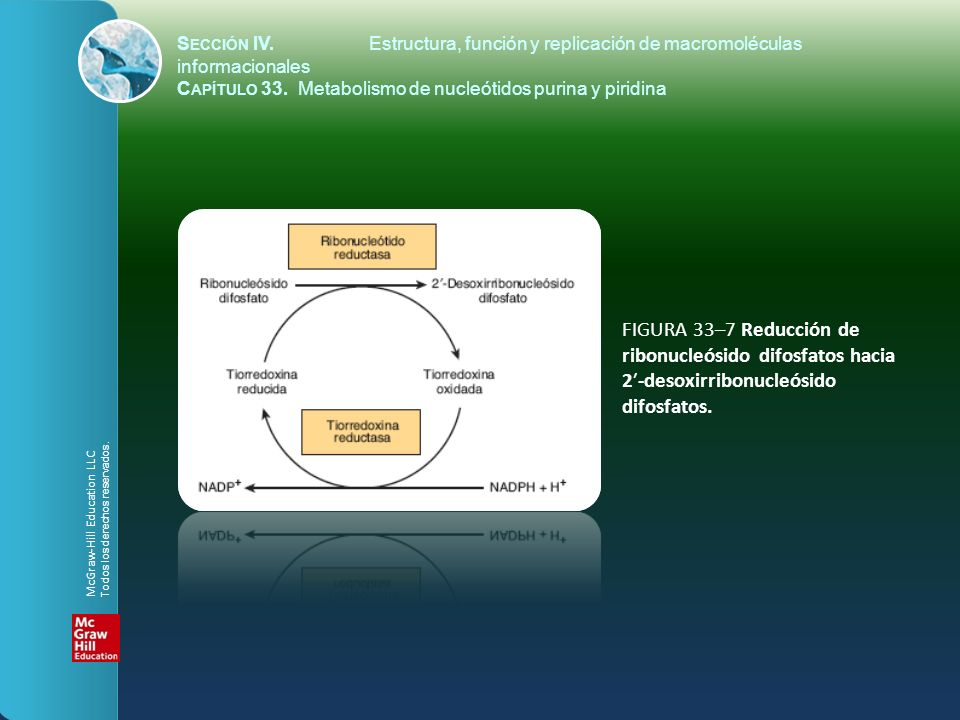 FIGURA 33–7 Reducción de ribonucleósido difosfatos hacia 2-desoxirribonucleósido difosfatos.