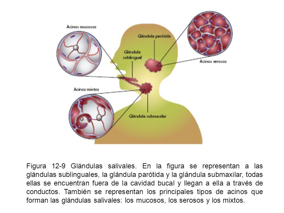 Figura 12-9 Glándulas salivales. En la figura se representan a las glándulas sublinguales, la glándula parótida y la glándula submaxilar, todas ellas
