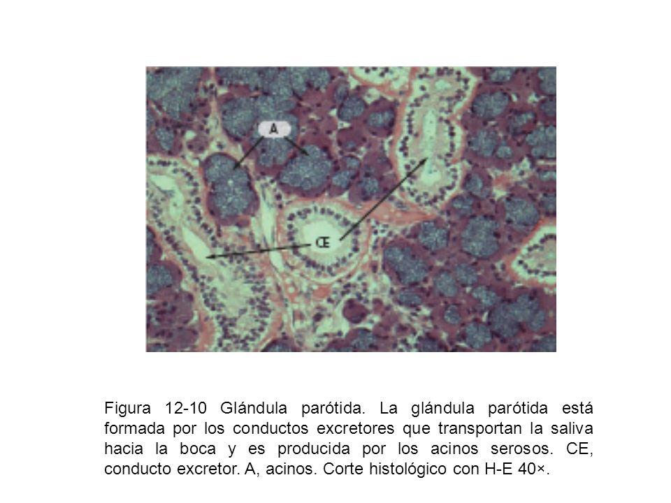 Figura 12-10 Glándula parótida. La glándula parótida está formada por los conductos excretores que transportan la saliva hacia la boca y es producida