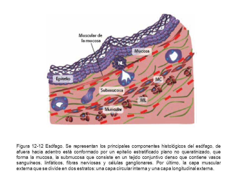 Figura 12-12 Esófago. Se representan los principales componentes histológicos del esófago, de afuera hacia adentro está conformado por un epitelio est