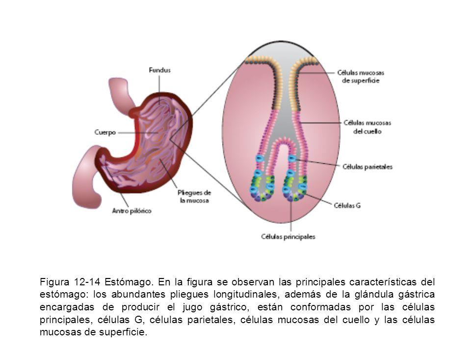 Figura 12-14 Estómago. En la figura se observan las principales características del estómago: los abundantes pliegues longitudinales, además de la glá
