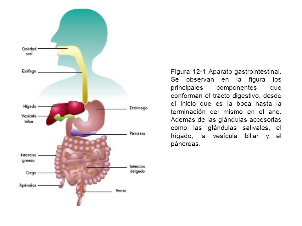 Figura 12-12 Esófago.