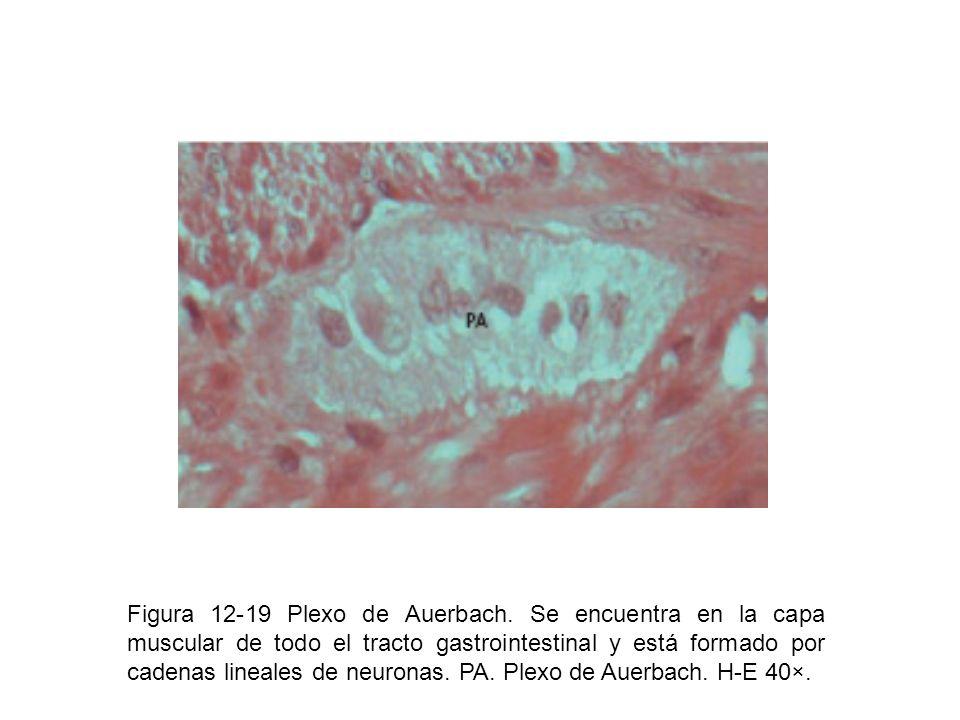 Figura 12-19 Plexo de Auerbach. Se encuentra en la capa muscular de todo el tracto gastrointestinal y está formado por cadenas lineales de neuronas. P