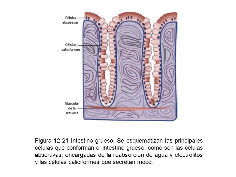 Figura 12-21 Intestino grueso. Se esquematizan las principales células que conforman el intestino grueso, como son las células absortivas, encargadas